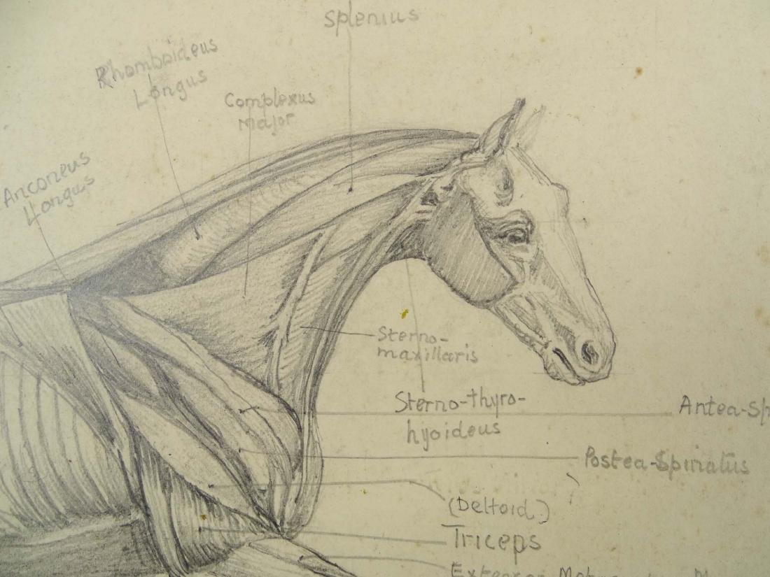 Early Horse Anatomy Drawings - 3