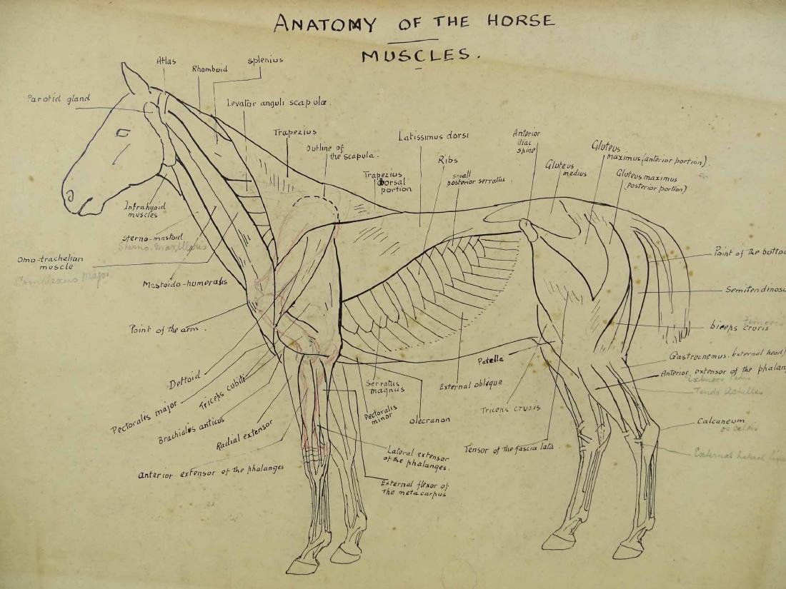 Early Horse Anatomy Drawings - 4
