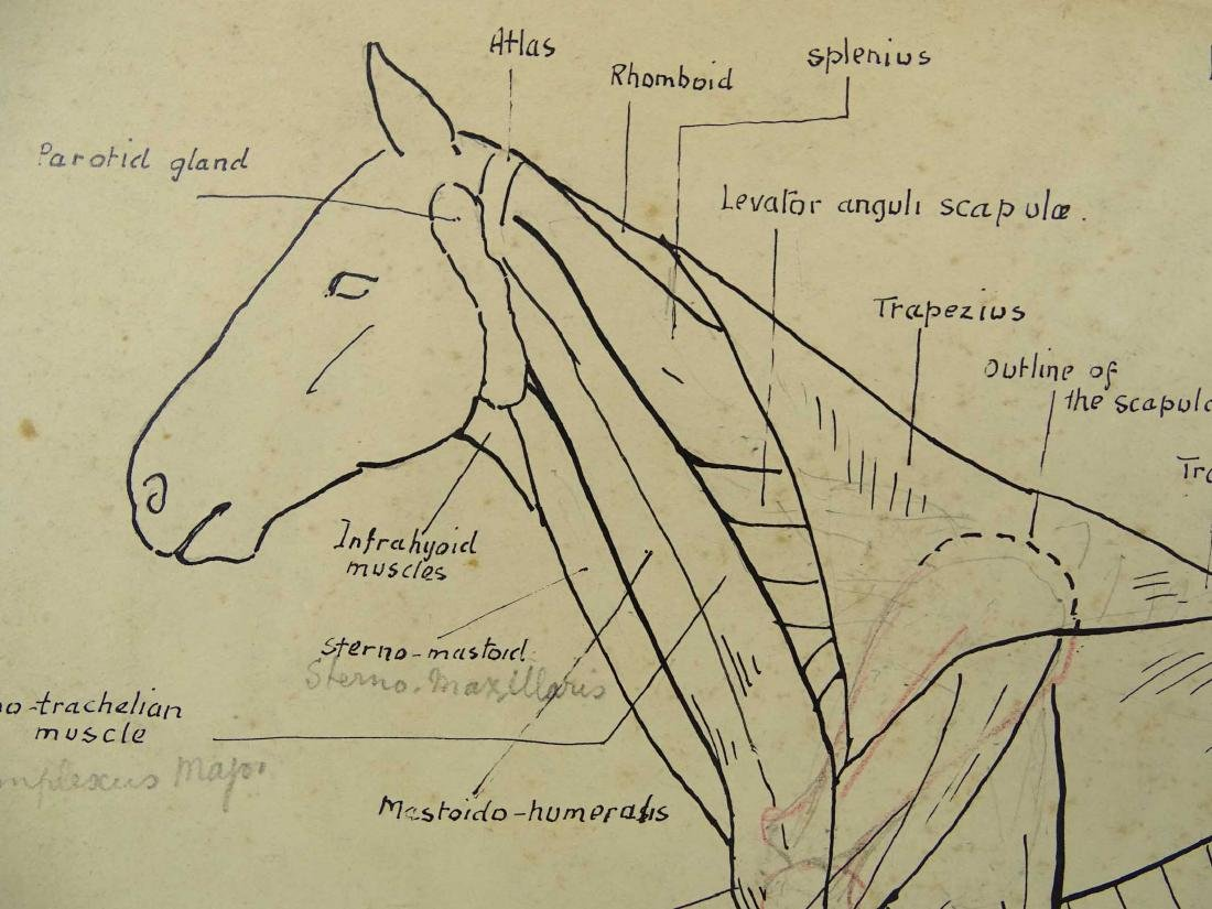 Early Horse Anatomy Drawings - 5