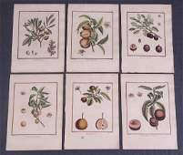 Early Botanical Fruit Prints 6