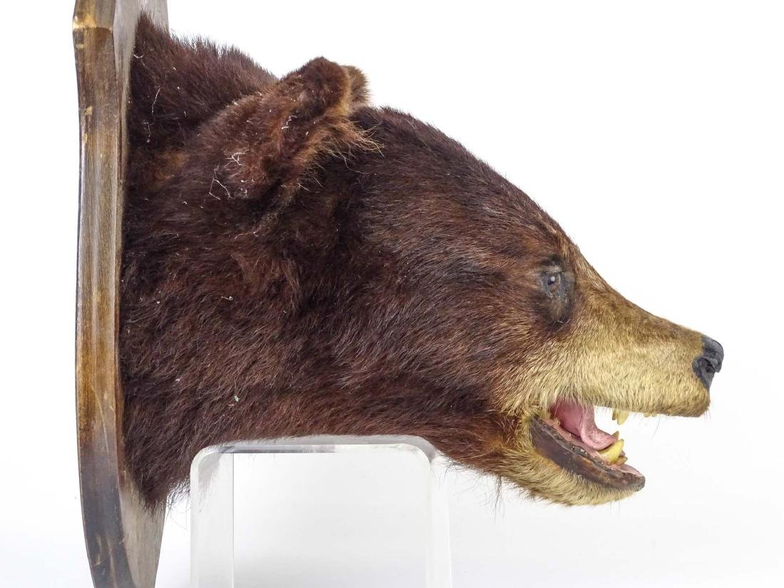 Taxidermy Mounted Bear Head - 2