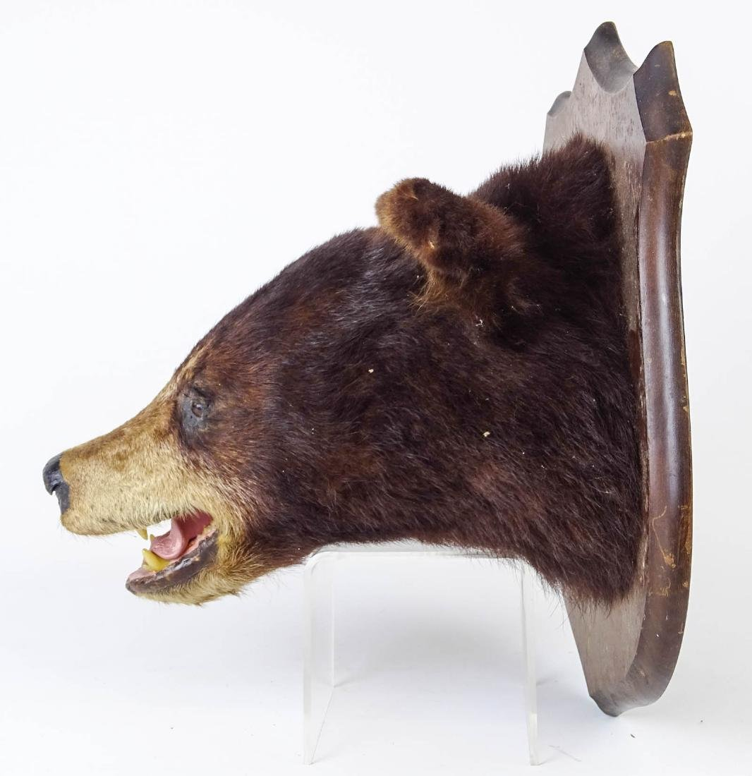 Taxidermy Mounted Bear Head - 3