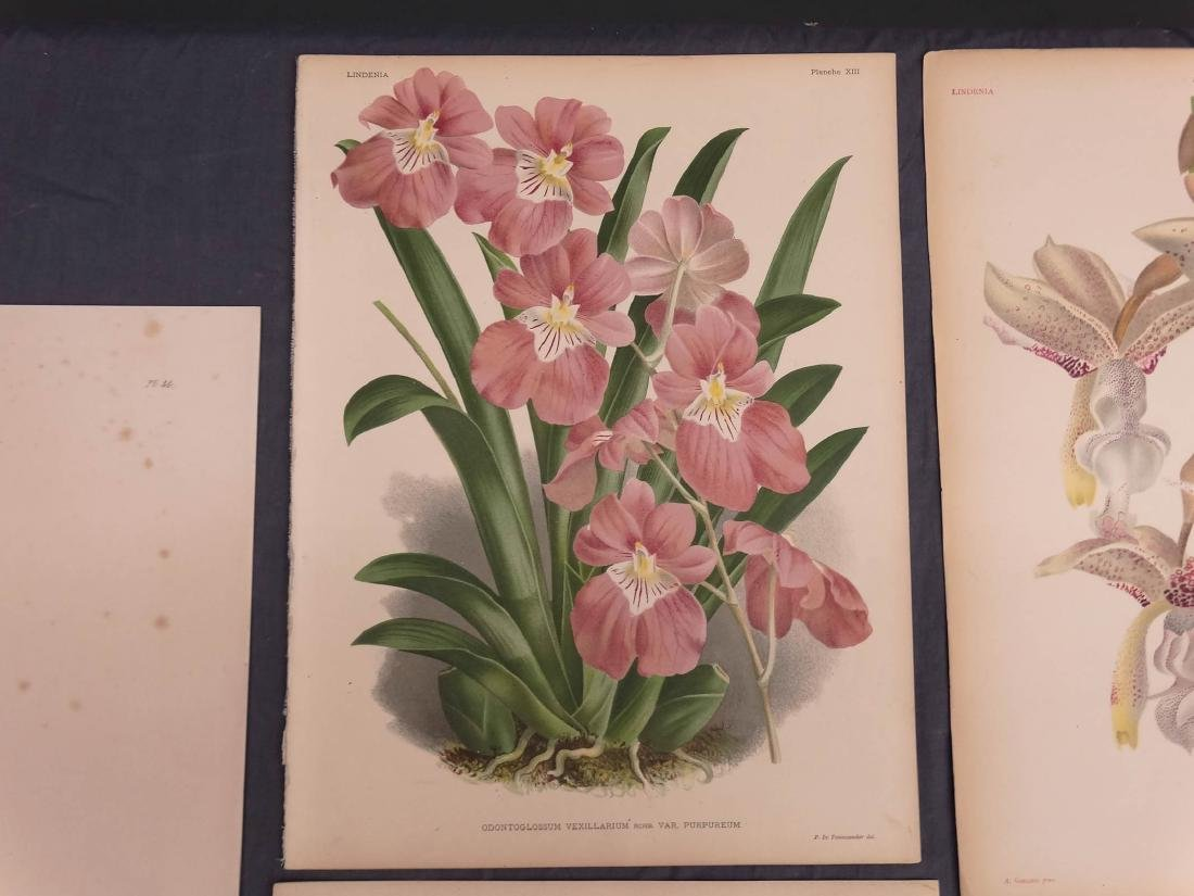 Orchid Botanical Antique Prints (8) - 5
