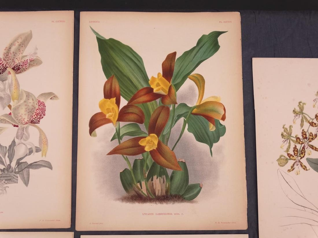 Orchid Botanical Antique Prints (8) - 7