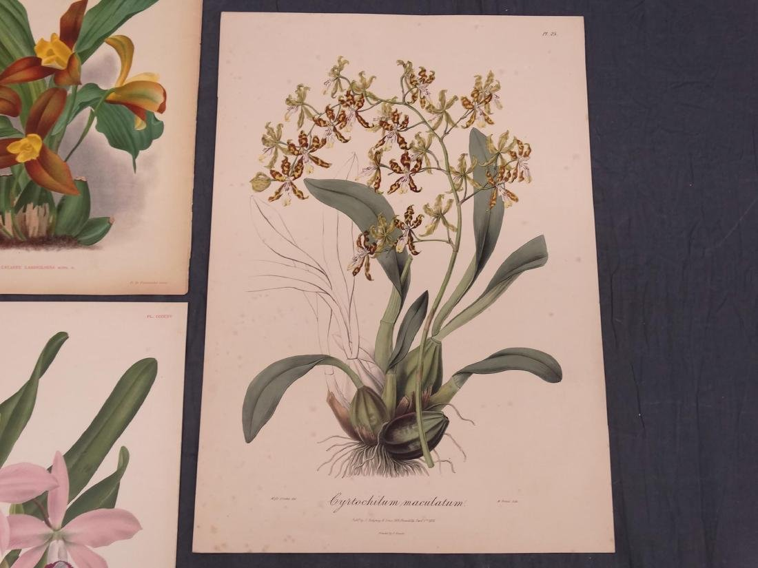Orchid Botanical Antique Prints (8) - 8