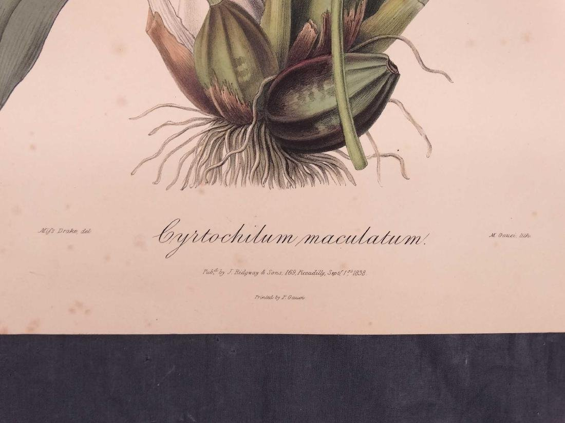 Orchid Botanical Antique Prints (8) - 9