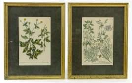 Weinmann Botanical Print Pair