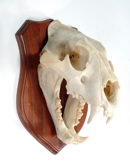 301: A wall mounted lion skull on a wooden shield