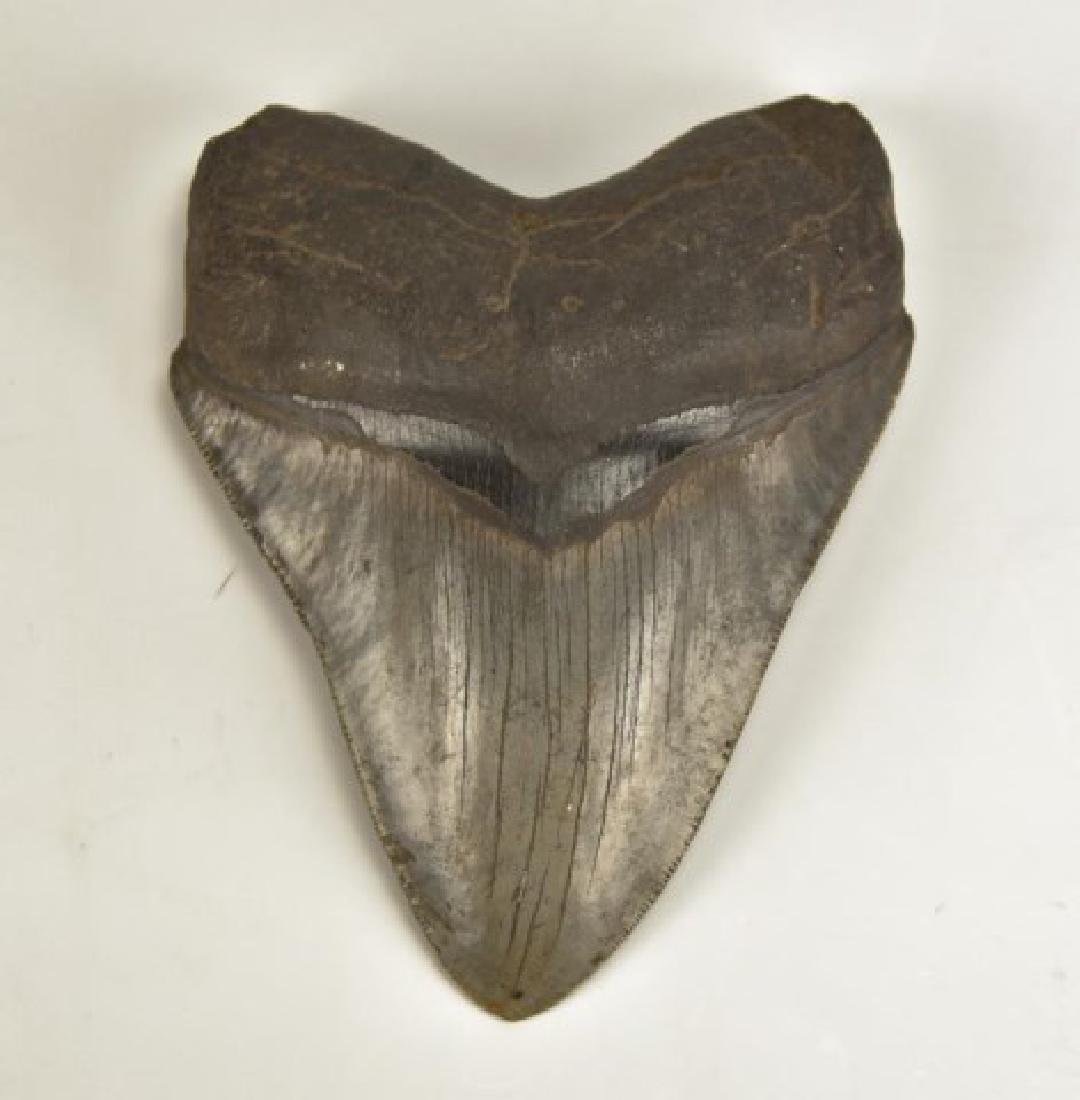 Megaladon Shark Tooth