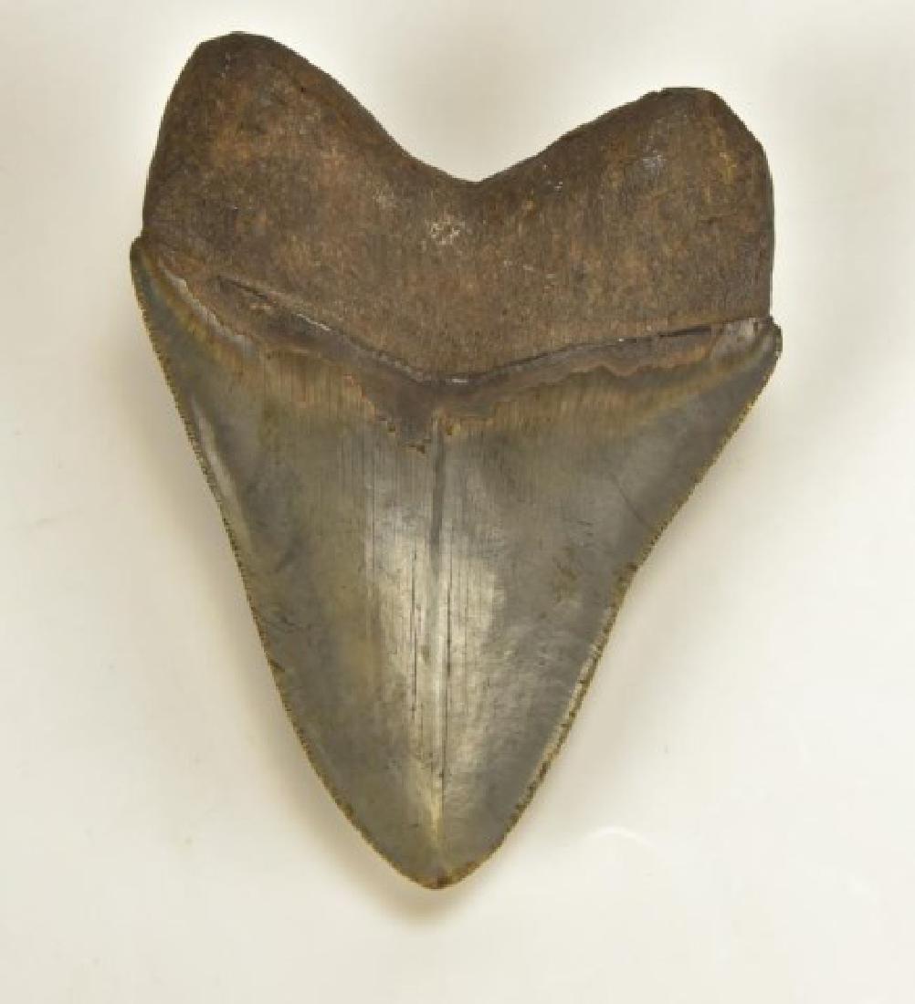 Megaladon Shark Tooth - 4