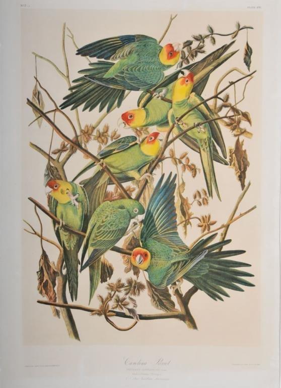 Carolina Parrot, Bien Edition, John James Audubon