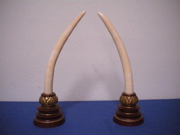 1421: A1-1 PAIR OF IVORY TUSKS