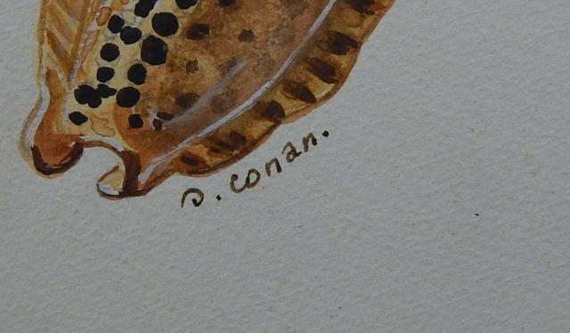 """(424) Gilbert Conan """"Shell Study"""" - 5"""
