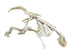 21: Authentic baby dinosaur skeleton