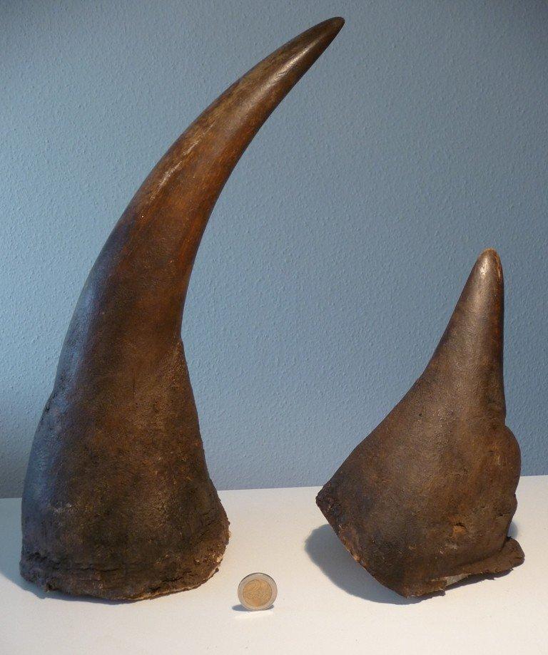 Rhinohorn Horns (Diceros bicornis), Black Rhinoceros