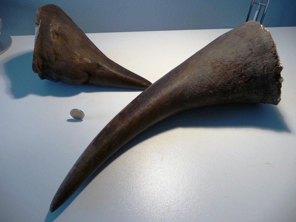 Rhinohorn Horns (Diceros bicornis), Black Rhinoceros - 2