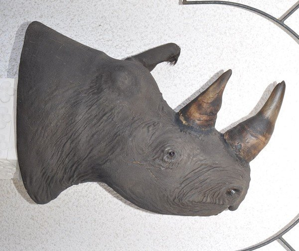 Rhino head preparation (Diceros bicornis - black rhino)
