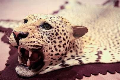 Preparation of a leopard (Panthera pardus)