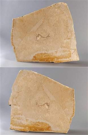 Fossilization, fish (Caturus) and brittle star, dou