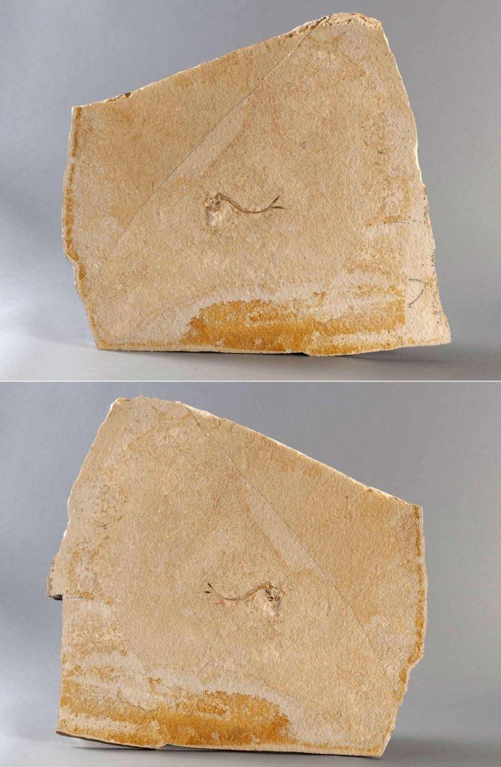 22: Fossilization, fish (Caturus) and brittle star, dou