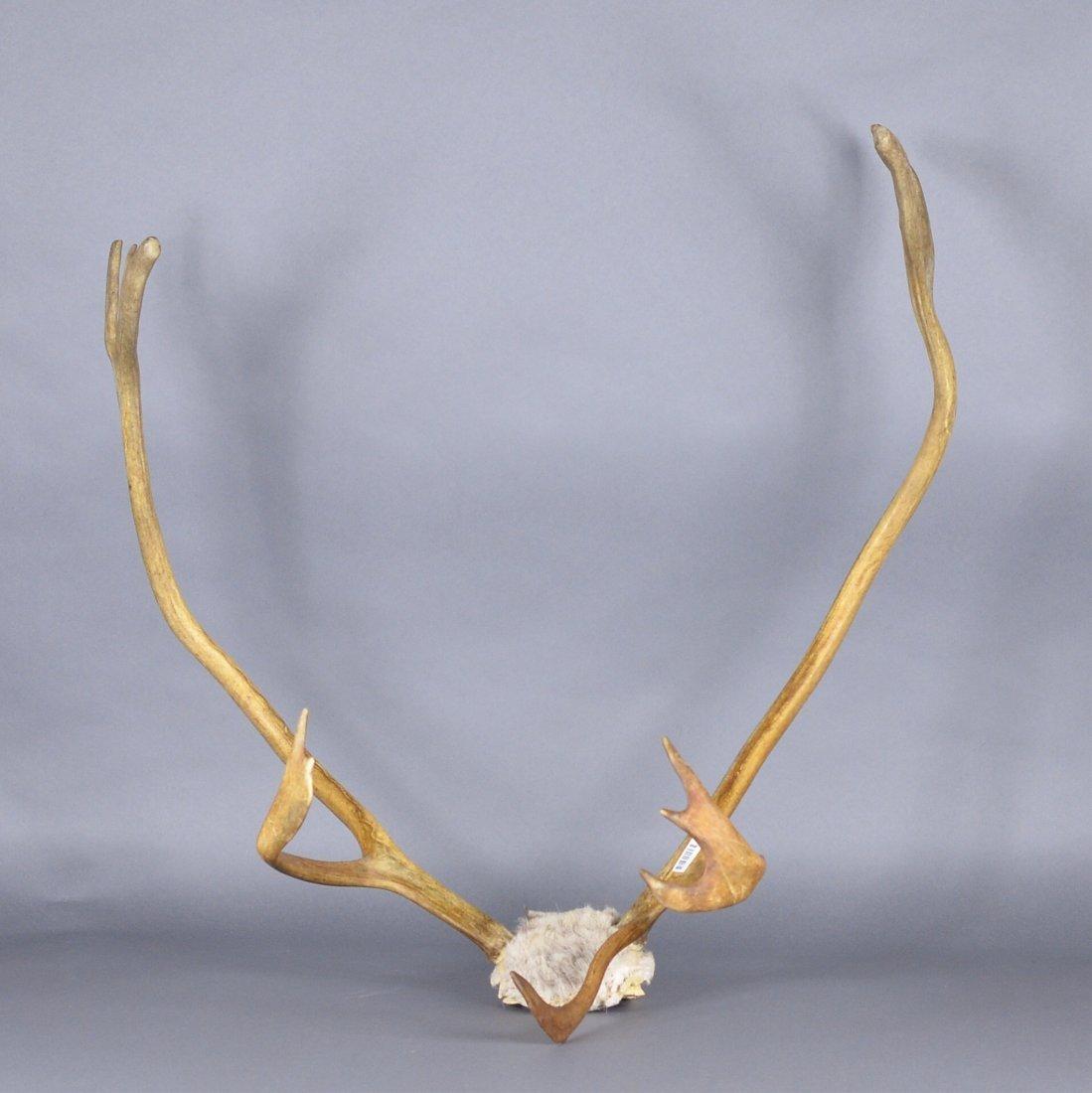 242: Chinese Natural Deer Antlers