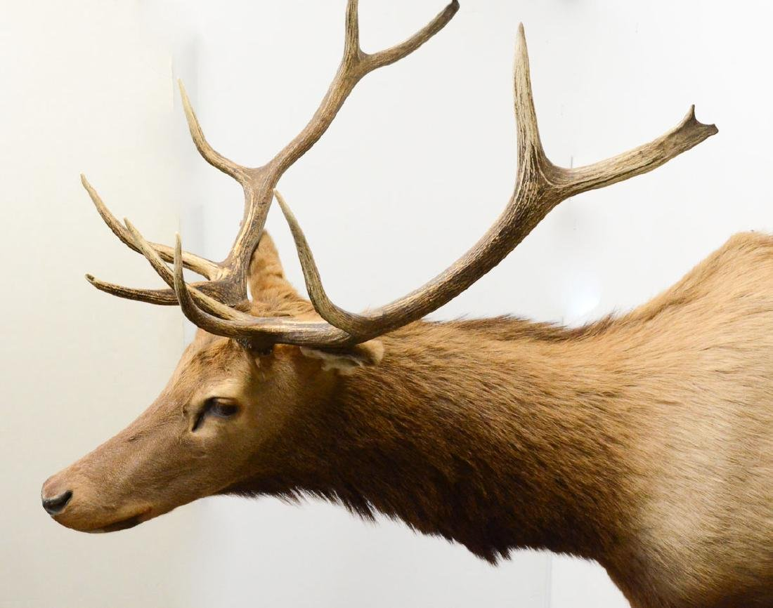 Taxidermy Elk Mount