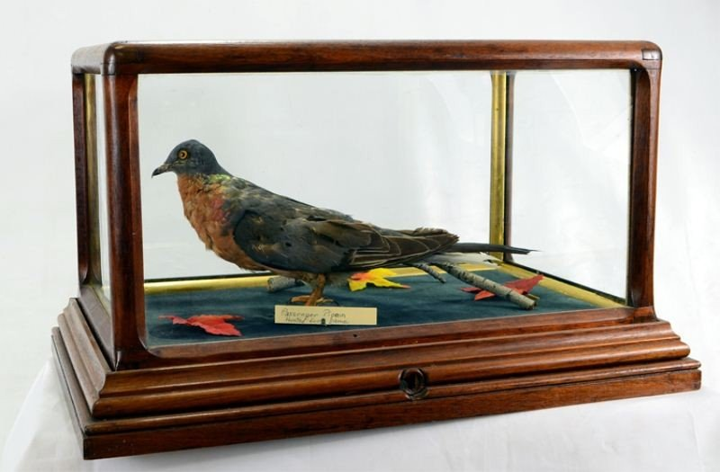 38: Cased Glass Taxidermy Passenger Pigeon 19th/20th C