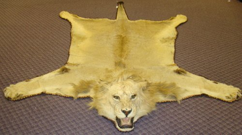 101: AFRICAN MALE LION RUG MOUNT HISTORICAL