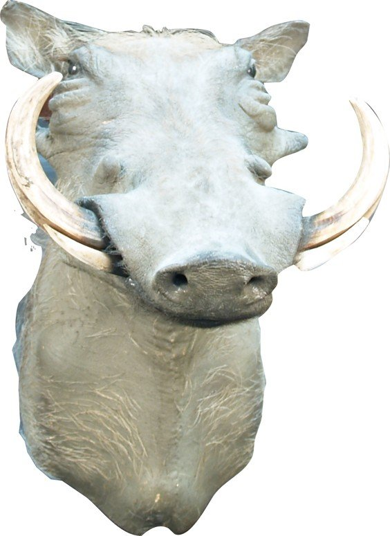 1238: Wall Mount Stuffed Wild Boar Head