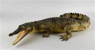 Taxidermy Baby Alligator