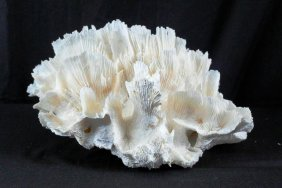 Natural Ocean White Coral In Shape Of Head Of Lettuce