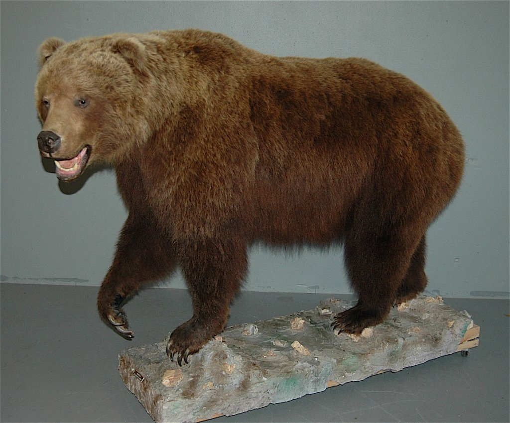 151: Full Size Grizzly Bear Mount