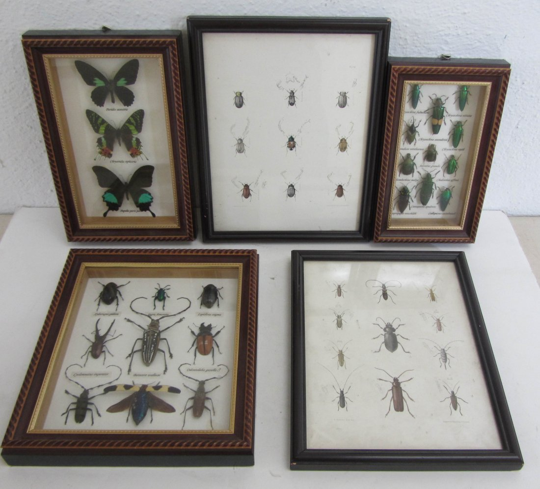 16: Lot of framed insect collection and drawings
