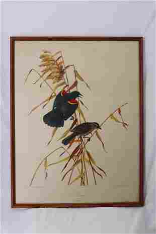 Vintage Audubon Society Lithograph, Red-Wing No. 3