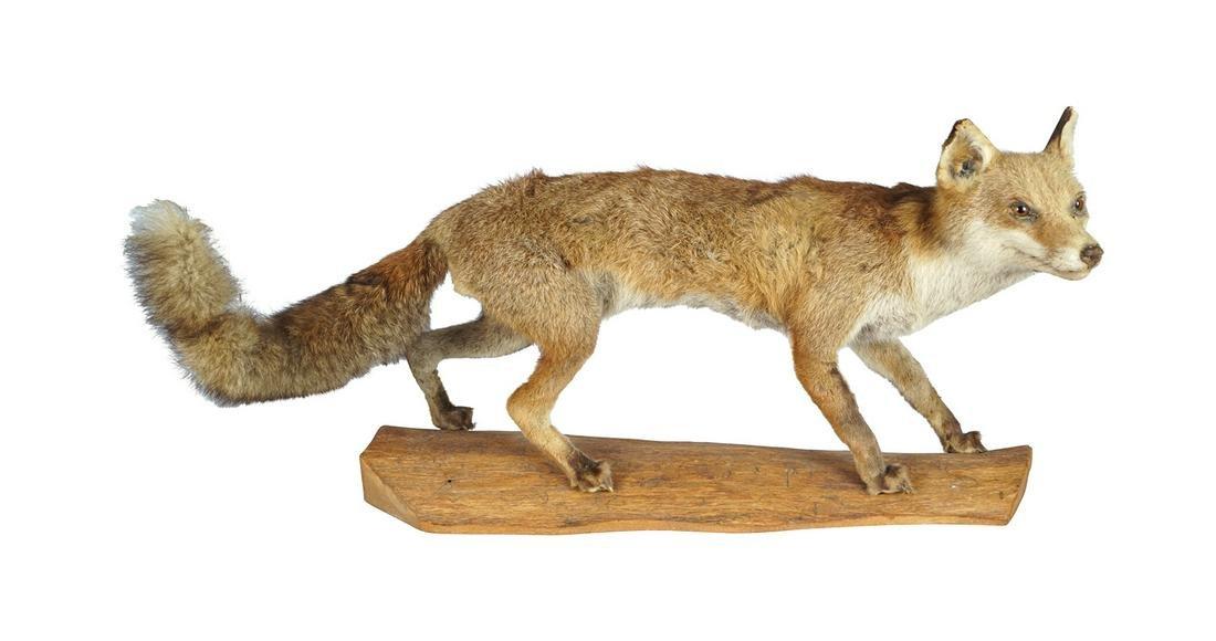 TAXIDERMY: FOX