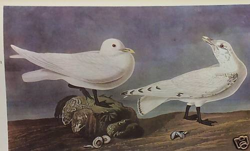 "11: AUDUBON ""IVORY GULL"" - 1937  - By John J Audubon"