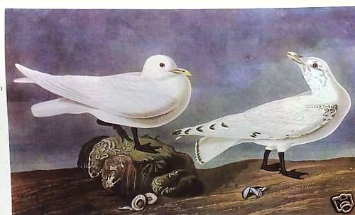 """22: AUDUBON """"IVORY GULL"""" - 1937 Lithograph"""
