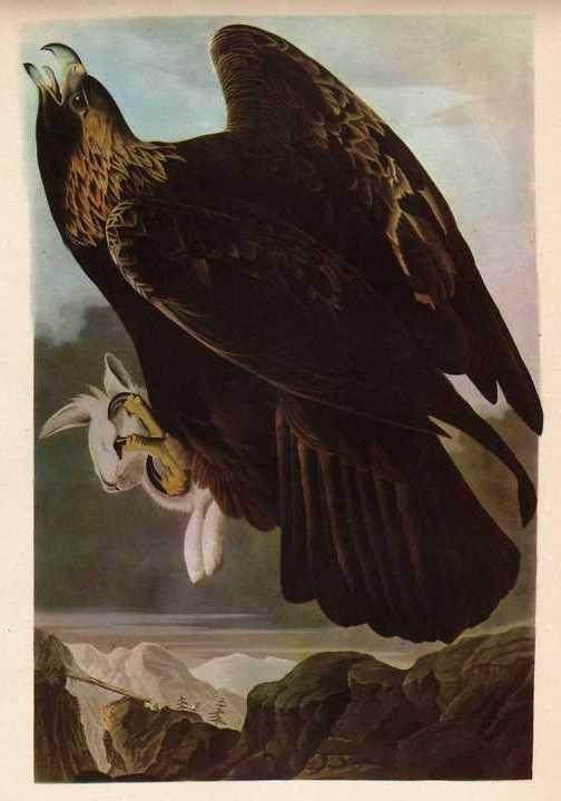 """600008: AUDUBON """"GOLDEN EAGLE"""" - 1937 LITHOGRAPH"""