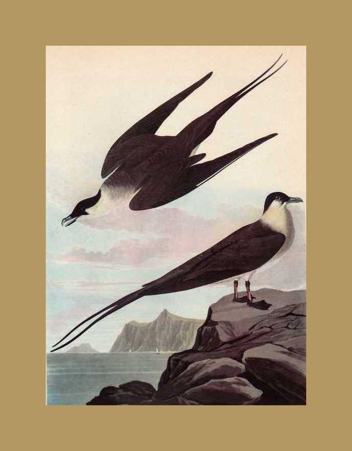 "AUDUBON ""LONG TAILED JAEGER"" - 1937 LITHOGRAPH"