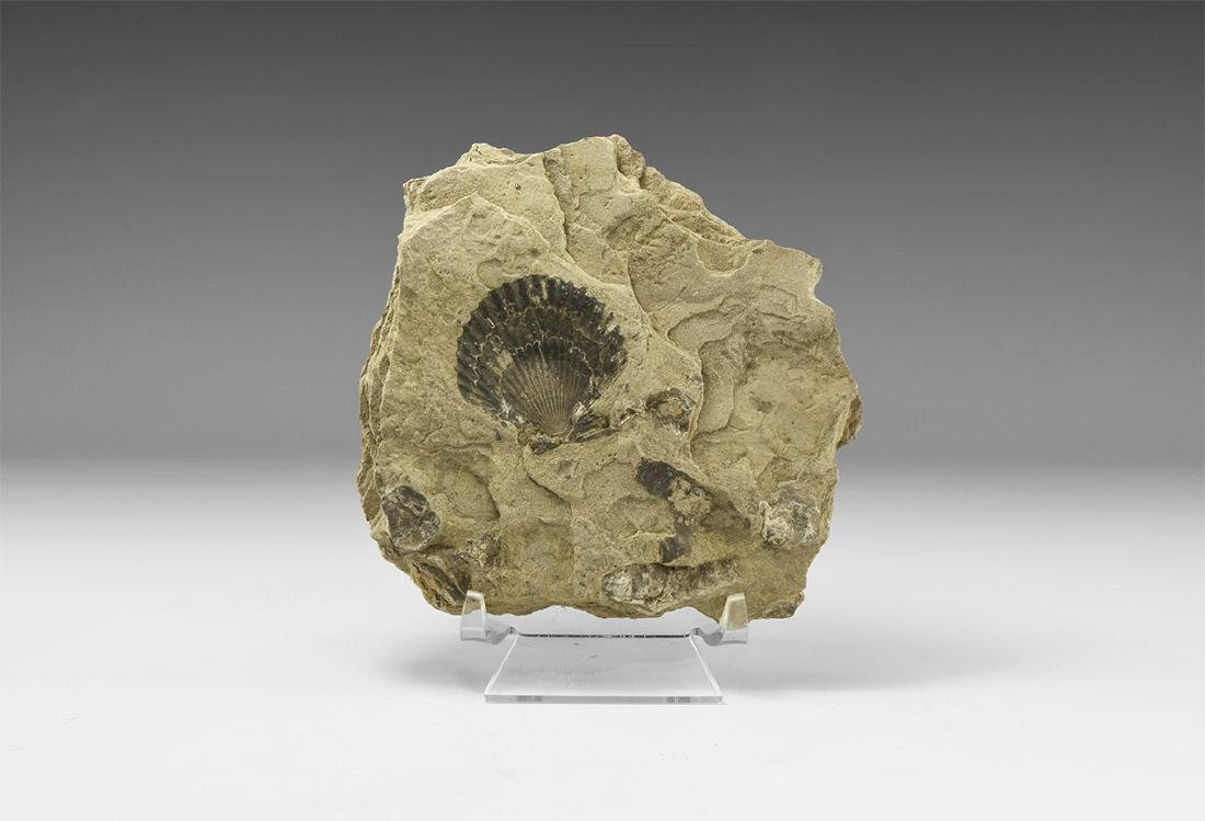 Natural History - Historic Fossil 'Clam' Specimen