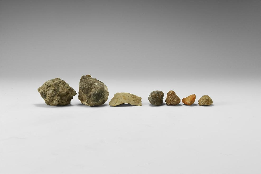 Natural History - Historic Fossil Brachiopod Group
