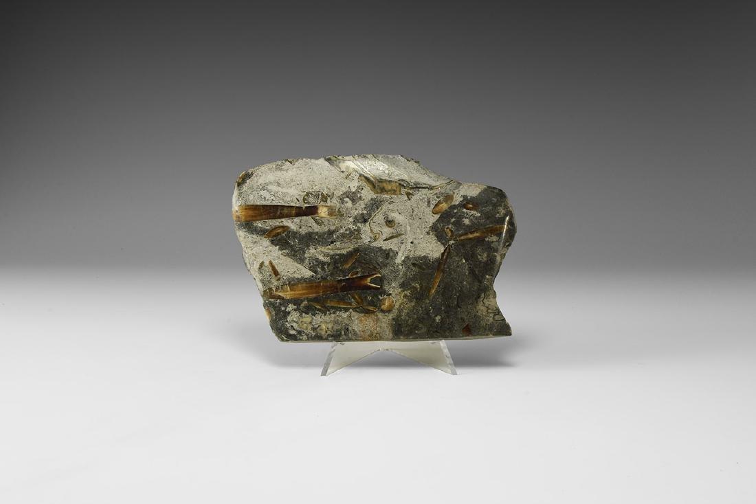 Natural History - Lyme Regis Belemnite Fossil