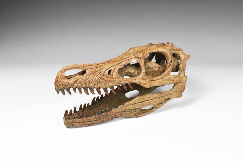 Velociraptor Skull Replica.