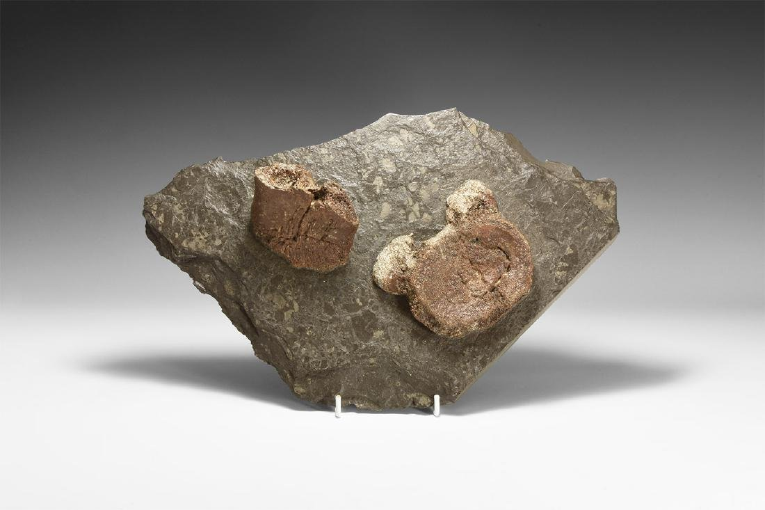 Plesiosaur Paddle Bone and Vertebra Display