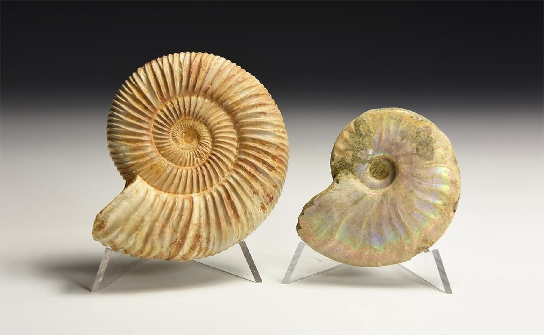 Fossil Ammonite Group