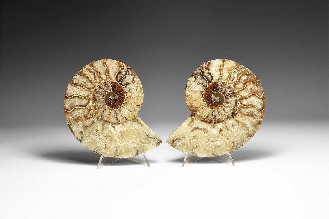 Large Polished Ammonite