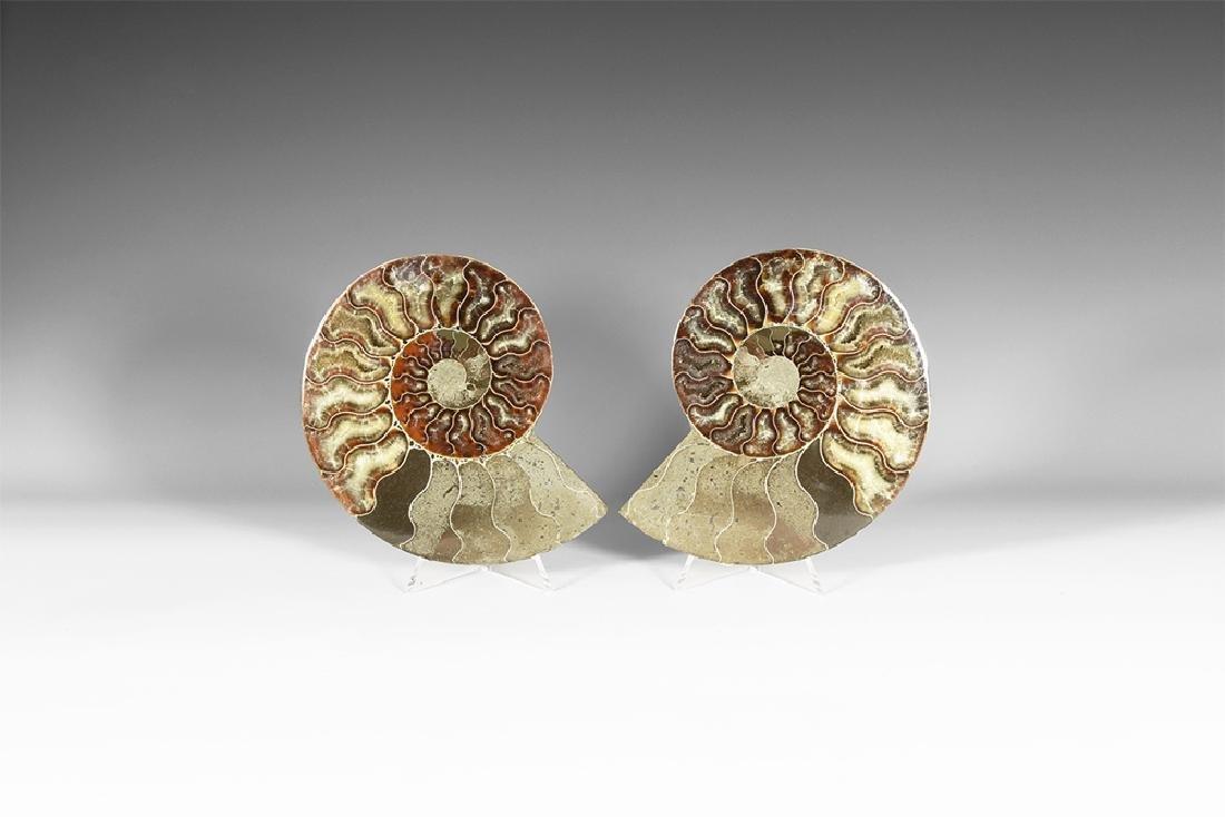 Natural History - Large Polished Ammonite