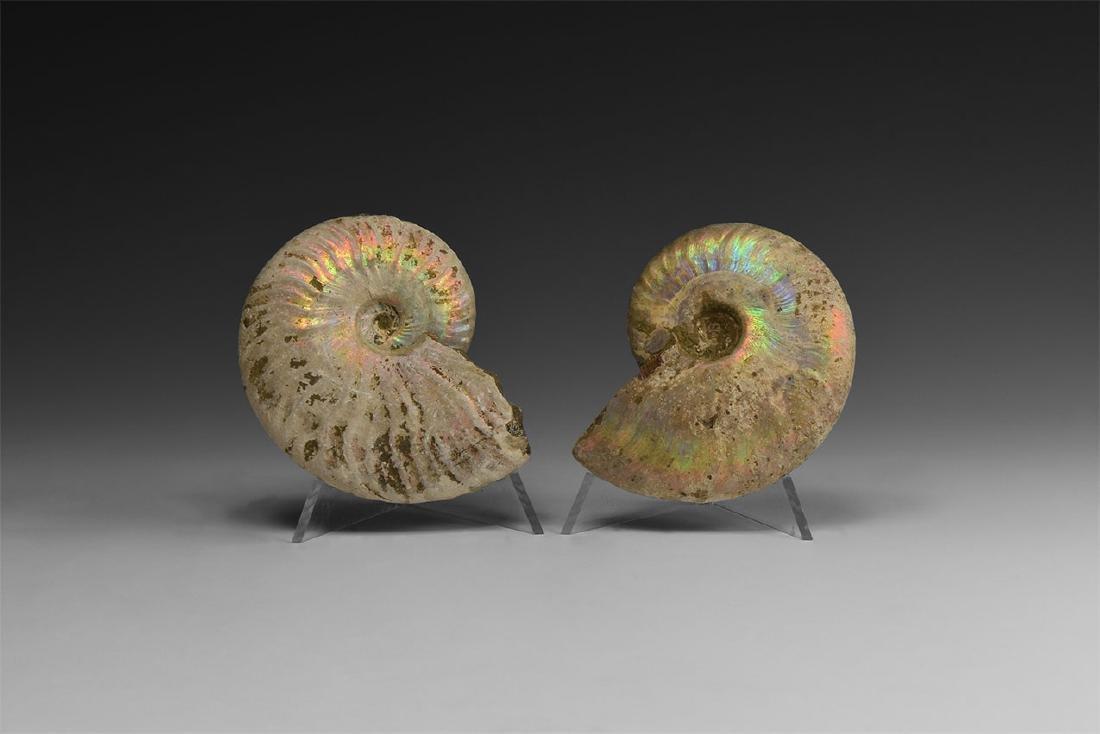 Iridescent Rainbow-Shell Ammonite Group