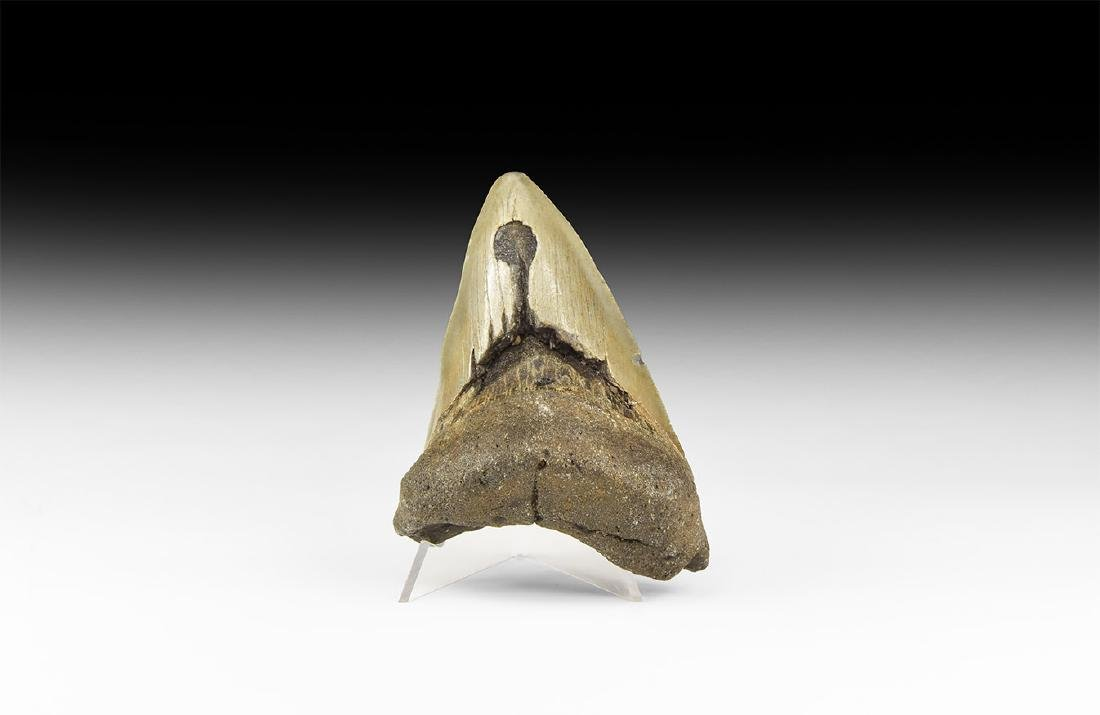 Megalodon Fossil Giant Shark Tooth