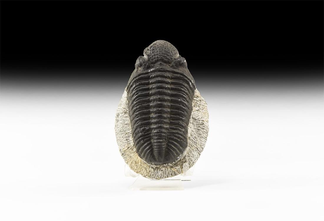 Large Phacops Rana Fossil Trilobite